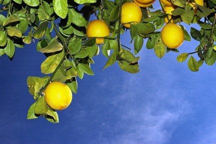 Citrons lumières dans Amicizia albero_limoni